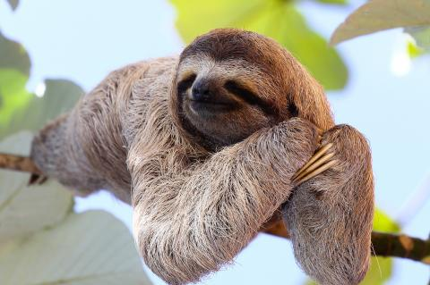 A Sloth Joins a Peruvian Gas Pipeline Workforce (© Janossy Gergely/Shutterstock.com)